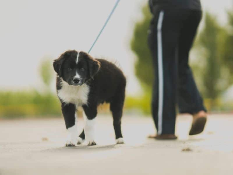 a dog being walked on a leash